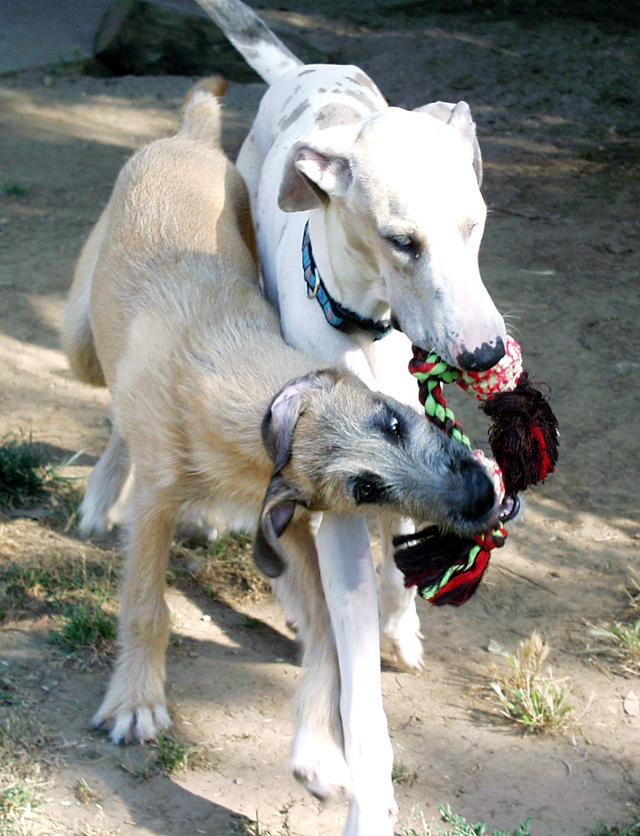 Great Dane Fawnequin Irish Wolfhounds at Ge...